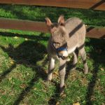Cute gray donkey in the outdoor petting zoo..