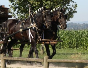 Horses in harness pulling wagon.